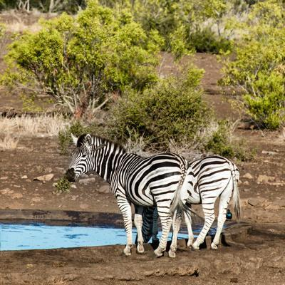 Awesome South Africa Collection Square - Two Burchell's Zebras III-Philippe Hugonnard-Photographic Print
