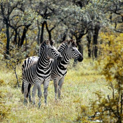 Awesome South Africa Collection Square - Two Common Zebras-Philippe Hugonnard-Photographic Print