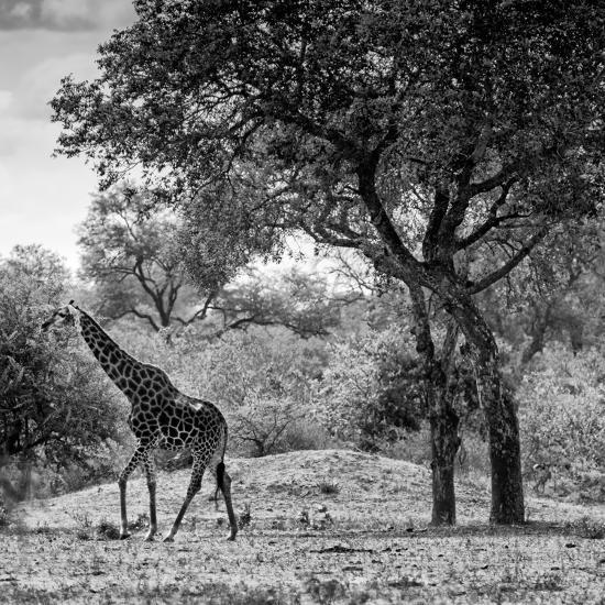 Awesome South Africa Collection Square - Wild Giraffe B&W-Philippe Hugonnard-Photographic Print