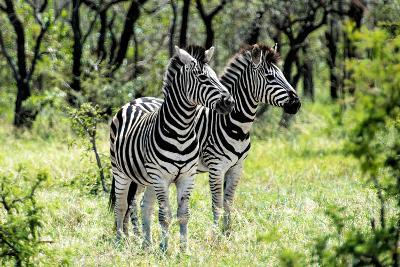 Awesome South Africa Collection - Two Burchell's Zebra I-Philippe Hugonnard-Photographic Print