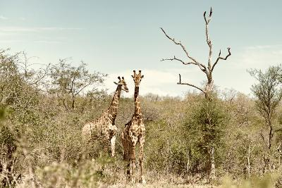 Awesome South Africa Collection - Two Giraffes I-Philippe Hugonnard-Photographic Print