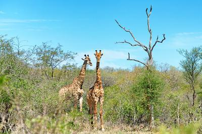 Awesome South Africa Collection - Two Giraffes-Philippe Hugonnard-Photographic Print