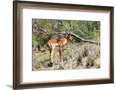 Awesome South Africa Collection - Young Impala-Philippe Hugonnard-Framed Photographic Print