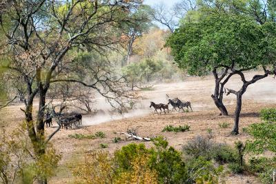 Awesome South Africa Collection - Zebras Migration in Savanna-Philippe Hugonnard-Photographic Print