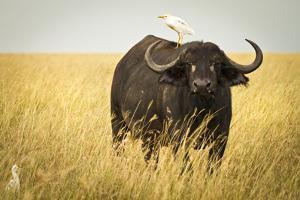 Water Buffalo with Bird in the Veldt of the Maasai Mara, Kenya by Axel Brunst