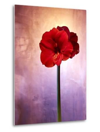 Amaryllis, Flower, Blossom, Still Life, Red, Violet