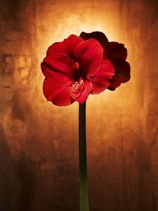 Amaryllis, Flower, Blossom, Still Life, Red by Axel Killian
