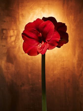 Amaryllis, Flower, Blossom, Still Life, Red