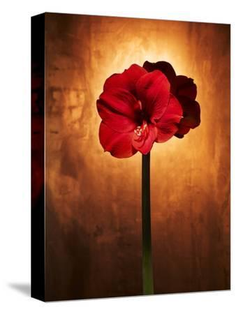 Amaryllis, Flower, Blossom, Still Life, Red
