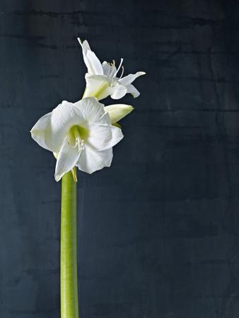 Amaryllis, Flower, Blossom, Still Life, White