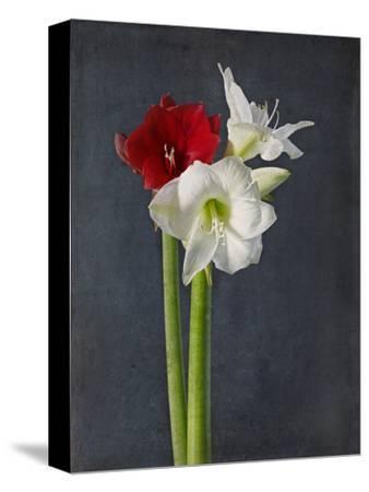 Amaryllis, Flowers, Blossoms, Still Life, Red, White, Black
