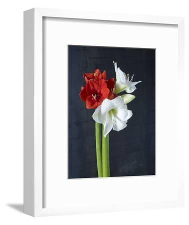 Amaryllis, Flowers, Blossoms, Still Life, Red, White, Black