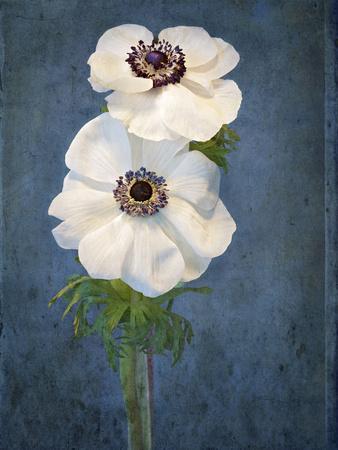 Anemone, Flower, Blossoms, Still Life, White, Blue