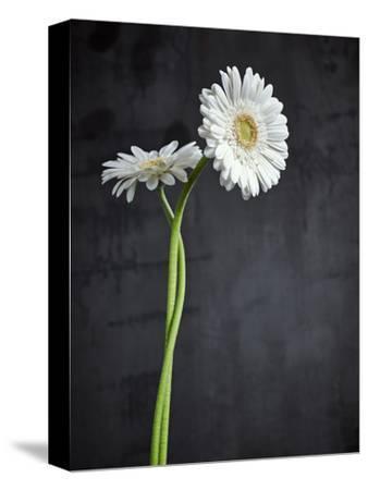 Gerbera, Flowers, Blossoms, White, Still Life