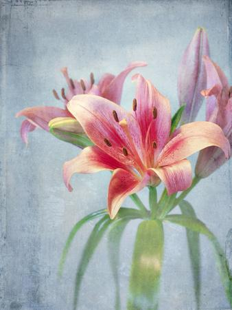 Lily, Daylily, Flower, Blossom, Plant, Still Life, Blue, Pink, Red