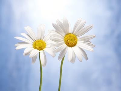 Marguerites, Flowers, Blossoms, Still Life, Blue, White