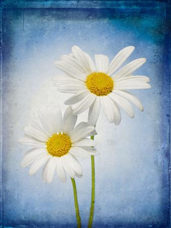 Marguerites, Flowers, Blossoms, Still Life, Blue, White