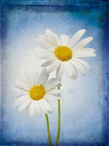 Marguerites, Flowers, Blossoms, Still Life, Blue, White by Axel Killian
