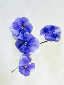 Violets, Blossoms, Violet, Blue, Viola Odorata by Axel Killian