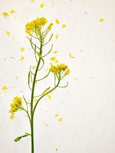 White Mustard, Mustard, Sinapis Alba, Stalk, Blossoms, Yellow by Axel Killian