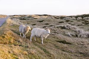Sheep in the Wayside, List, Island Sylt, Schleswig-Holstein, Germany by Axel Schmies