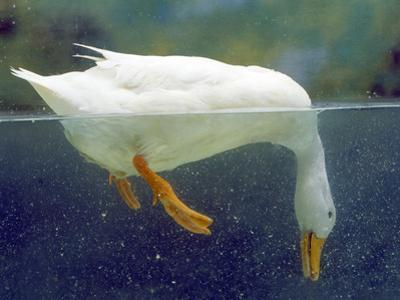 Aylesbury Duck Domestic, Above and Below Water