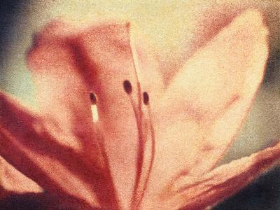 Azalea Bloom-Jennifer Kennard-Photographic Print
