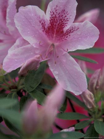 https://imgc.artprintimages.com/img/print/azalea-blossom-charleston-south-carolina-usa_u-l-p4lptx0.jpg?p=0