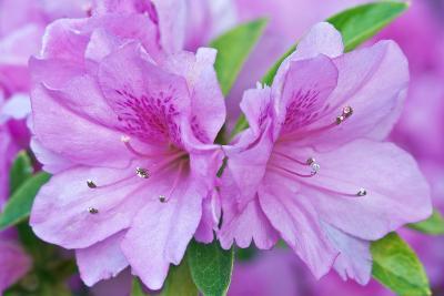 Azalea Flower-Rob Tilley-Photographic Print