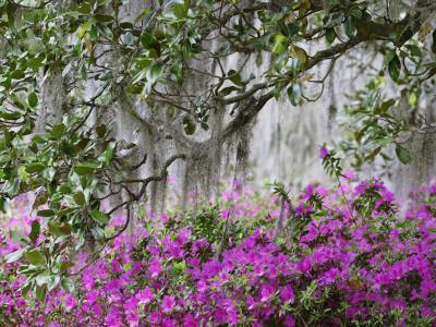 https://imgc.artprintimages.com/img/print/azaleas-and-live-oak-trees-draped-in-spanish-moss-middleton-place-plantation-south-carolina-usa_u-l-pdkw2j0.jpg?p=0