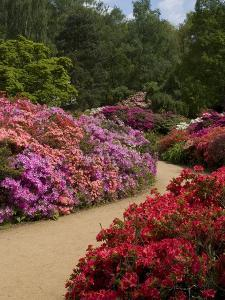 Azaleas and Rhododendrons, Isabella Plantation, Richmond Park, Richmond, Surrey, England, Uk