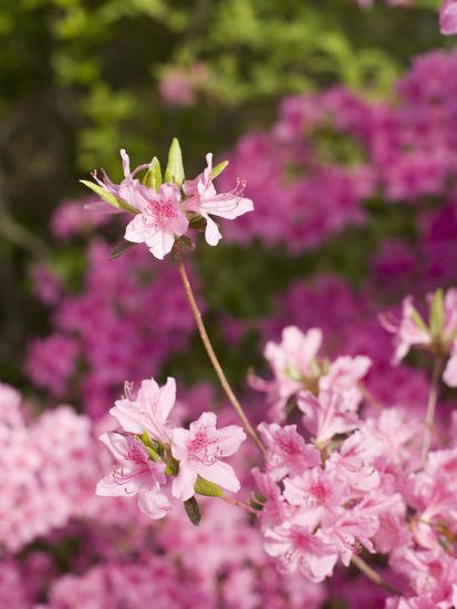 Azaleas Blooming (Rhododendron)-Scientifica-Photographic Print