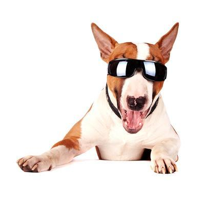 Cheerful Bull Terrier in Sunglasses
