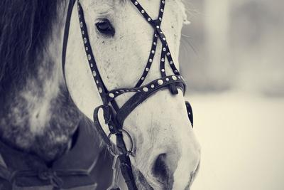 Muzzle of A White Horse in A Harness.