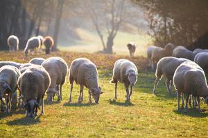 Sheep Herd by Azem Ramadani