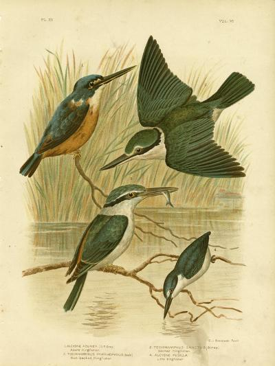 Azure Kingfisher, 1891-Gracius Broinowski-Giclee Print