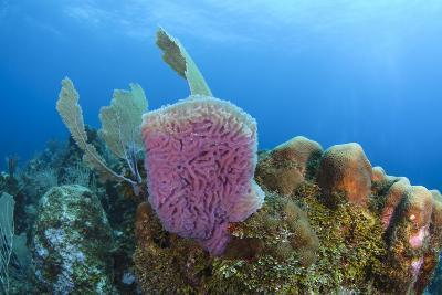 Azure Vase Sponge, Hol Chan Marine Reserve, Belize-Pete Oxford-Photographic Print