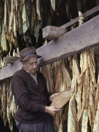Tobacco Farmer Inspects His Crop