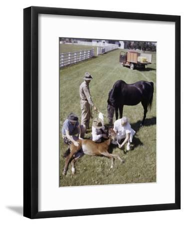 Workers Hold a Colt While the Veterinarian Gives it Castor Oil