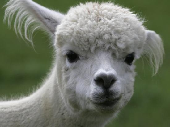 B.C., a 3-Year-Old Alpaca, at the Nu Leafe Alpaca Farm in West Berlin, Vermont-Toby Talbot-Photographic Print