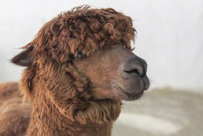 Brown Alpaca Face close Up by B NITI
