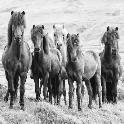 B&W Horses VIII-PHBurchett-Photographic Print