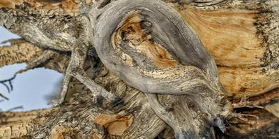 Close Up Detail of a Twisted Bristlecone Pine Tree. the Trees Can Live Up to 5,000 Years by Babak Tafreshi