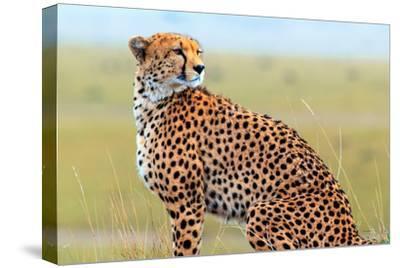 Portrait of a Cheetah, Acinonyx Jubatus
