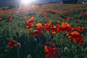 Spring Landscape of Alborz Mountains Filled with Large Red Poppies and Scattered Shepherd's Huts by Babak Tafreshi