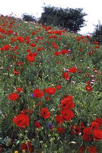 Wild Poppies, and Other Wildflowers in Bloom on a Hillside, in Spring by Babak Tafreshi