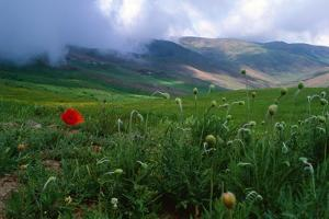 Wild Poppies Begin to Bloom in Spring Landscape in a Mountainous Area in Northern Iran by Babak Tafreshi