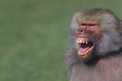 Baboon Baring Teeth-DLILLC-Photographic Print