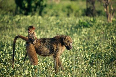 Baboon Carrying Youth-Beverly Joubert-Photographic Print