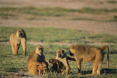 Baboon Family-DLILLC-Photographic Print